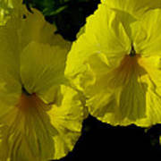 Yellow Pansies  Art Print