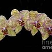 yellow phalaenopsis orchid photograph by darleen stry