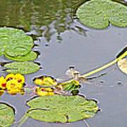 Yellow Pond Lilies On Lake Yellowhead Along Yellowhead Highway-b Art Print