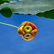 Yellow Pond Lily Art Print
