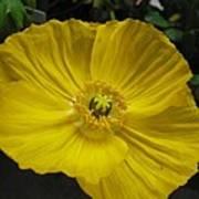 Yellow Poppie Art Print