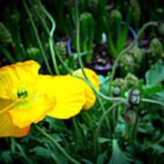Yellow Poppy Xl Format Floral Photography Art Print