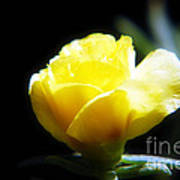 Yellow Primrose Art Print