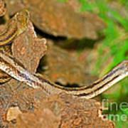 Yellow Rat Snakes Art Print