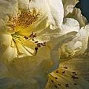 Yellow Rhododendron Art Print