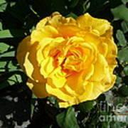Yellow Rose #1 Art Print