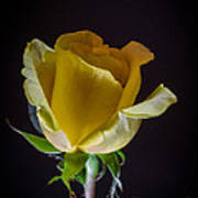 Yellow Rose 1 Art Print