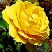 Yellow Rose IIi Art Print