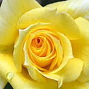 Yellow Rose L Art Print