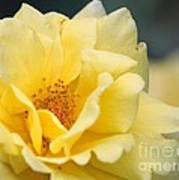 Yellow Rose Macro Art Print