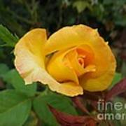 Yellow Rose Of Texas Art Print