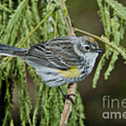 Yellow-rumped Warbler Art Print