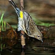 Yellow-rumped Warbler Drinking Art Print