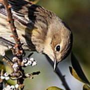 Yellow-rumped Warbler - Precious Art Print