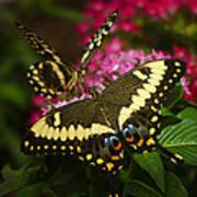 Yellow Swallowtail Butterflies  Art Print