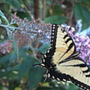 Yellow Swallowtail Butterfly Art Print