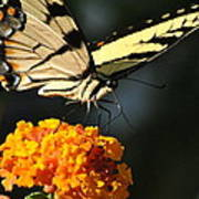 Yellow Swallowtail Art Print