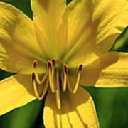 Yellow Too Lily Flower Art Art Print