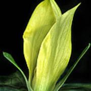 Yellow Trillium Art Print