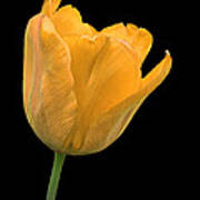 Yellow Tulip Open On Black Art Print