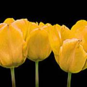 Yellow Tulip Triple Art Print