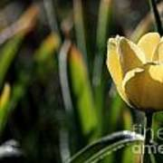 Yellow Tulip With Dew Art Print