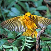 Yellow Warbler Dendroica Petechia Art Print