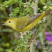 Yellow Warbler Hen Art Print