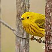 Yellow Warbler Pictures 90 Art Print
