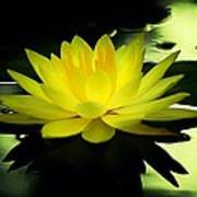 Yellow Waterlily Nc Art Print