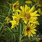 Yellow Wild Flowers Art Print
