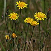 Yellow Wild Flowers Along The Chehalis Trail Art Print