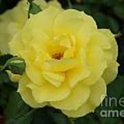 Yellow Wonder Rose...   # Art Print