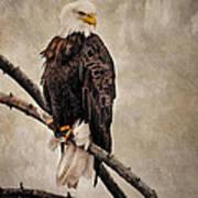 Yellowstone Bald Eagle Art Print