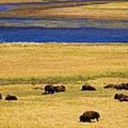 Yellowstone Bison Herd Art Print