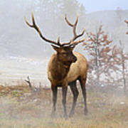 Yellowstone Bull Elk Art Print