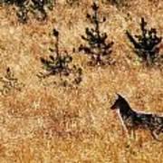 Yellowstone Coyote Art Print