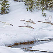 Yellowstone Geese Fly By Art Print by David Yack
