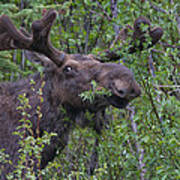 Yellowstone Munching Moose Art Print