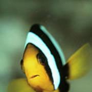 Yellowtail Anemonefish Art Print