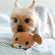 Yorkie Playing With Teddy Toy Art Print
