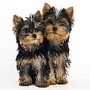 Yorkie Puppies Art Print