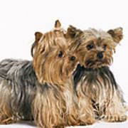 Yorkshire Terrier Dogs Art Print