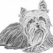 Yorkshire Terrier Drawing Art Print by Catherine Roberts