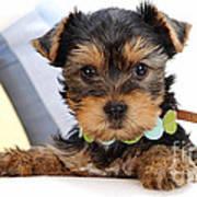 Yorkshire Terrier Puppy Art Print