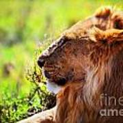 Young Adult Male Lion On Savanna. Safari In Serengeti Art Print