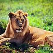 Young Adult Male Lion On Savanna. Safari In Serengeti. Tanzania Art Print