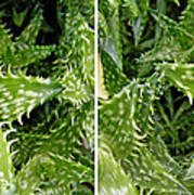 Young Aloe In Stereo Art Print