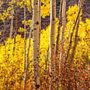 Young And Old Aspens Art Print
