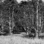 Young Baobab Trees  Art Print